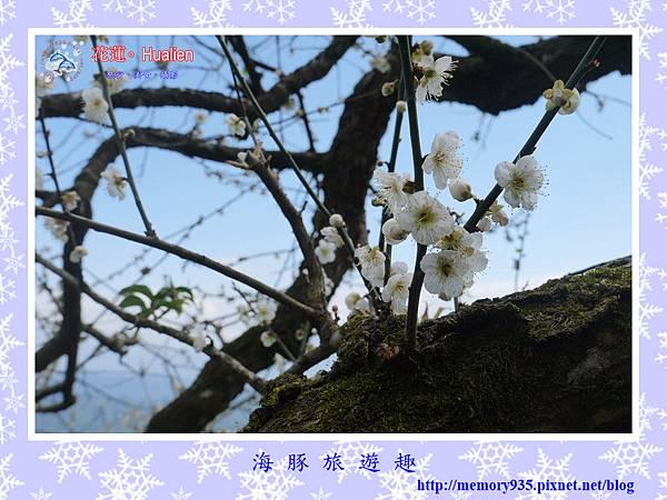 瑞穗。虎頭山梅花 (9).jpg