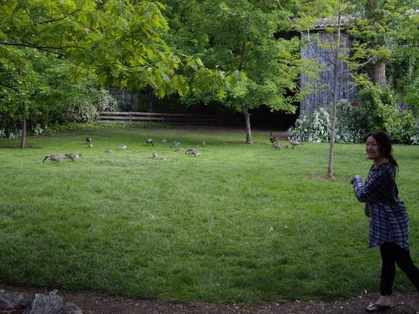 5/22 一堆鴨子在lagoon