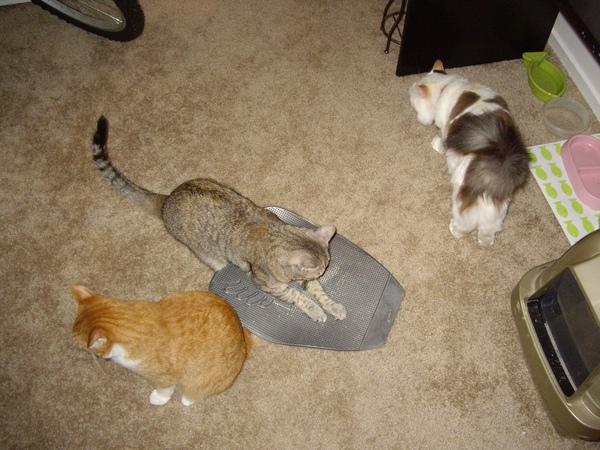 Miu常錯認貓沙踏墊為抓版