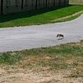松鼠在路上奔跑