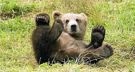 brown-bear-529096_960_720