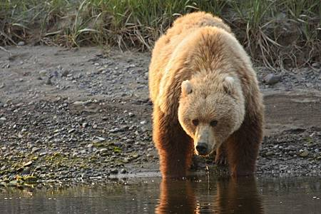 coastal-brown-bear-1019053_960_720