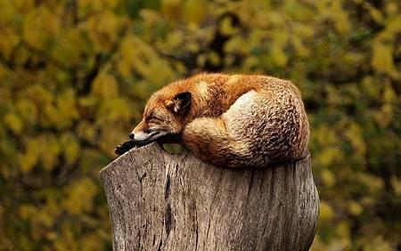 fox-1284512__480