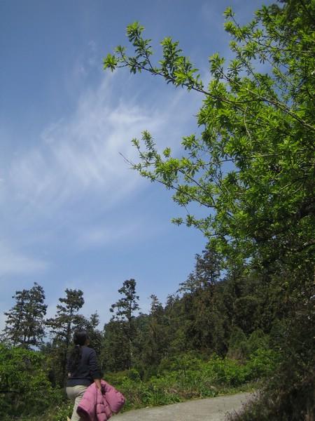 梅子樹一片翠綠