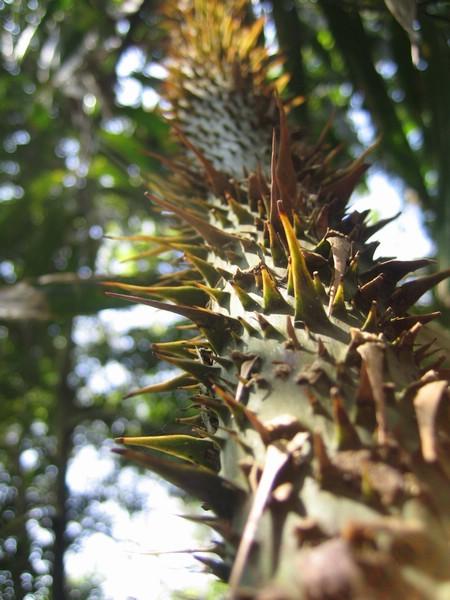 有刺的樹叫什麽來著...荊棘?