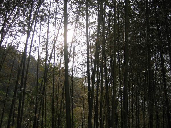 陽光在竹林間若隱若現