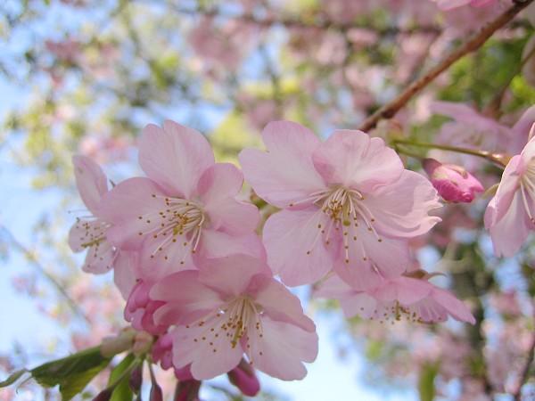 三十三間堂的櫻花