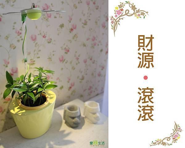 時尚植物燈 智慧型元寶型花器-竹柏