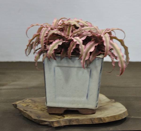 2015台灣花菓盆栽展0168.jpg