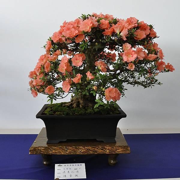 2019台中皋月杜鵑展_00008.jpg