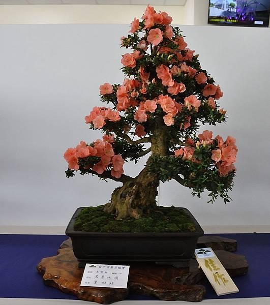 2019台中皋月杜鵑展_00010.jpg