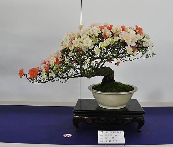 2019台中皋月杜鵑展_00013.jpg