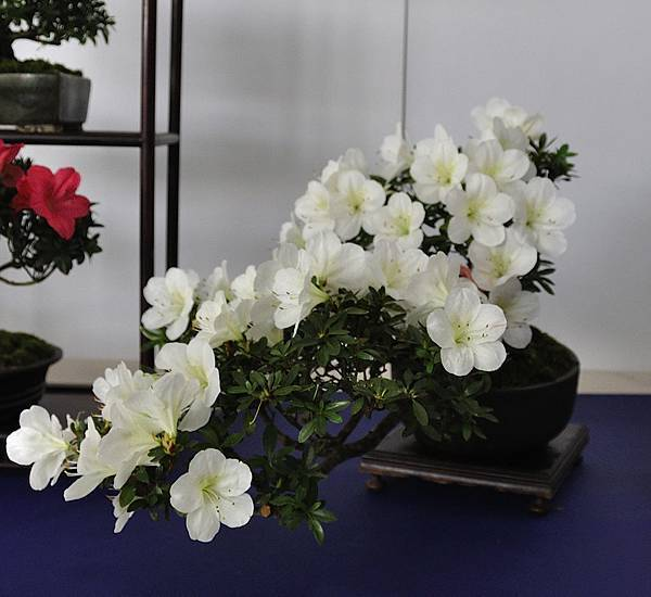 2019台中皋月杜鵑展_00033.jpg