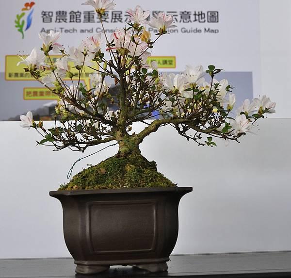 2019台中皋月杜鵑展_00035.jpg