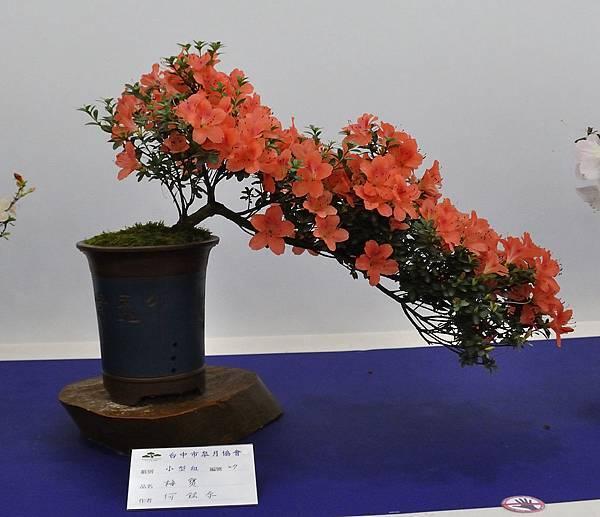2019台中皋月杜鵑展_00046.jpg