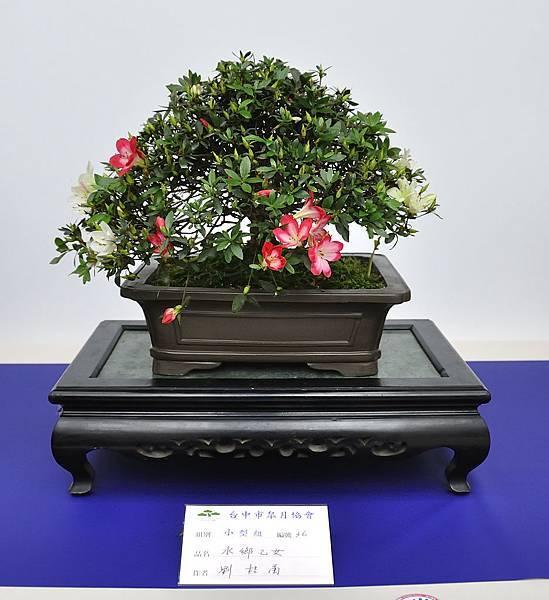 2019台中皋月杜鵑展_00061.jpg