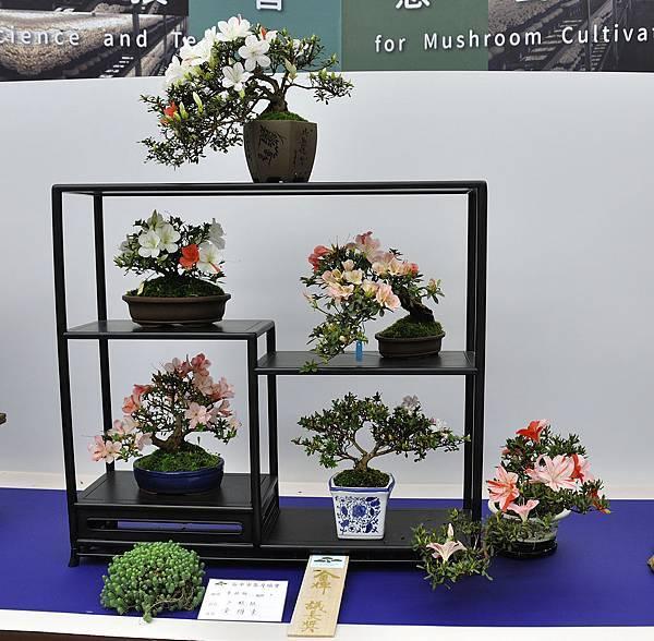 2019台中皋月杜鵑展_00093.jpg