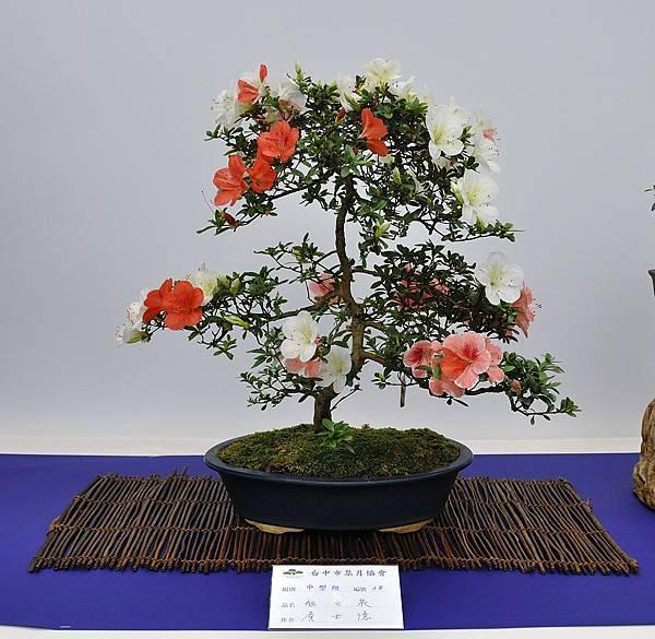 2019台中皋月杜鵑展_00102.jpg