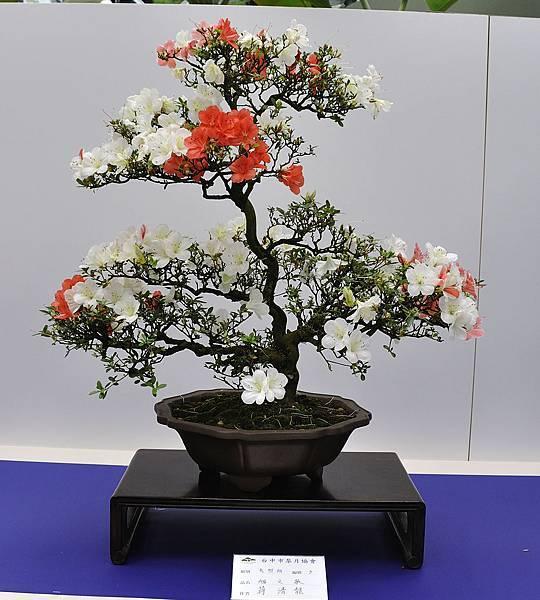 2019台中皋月杜鵑展_00111.jpg