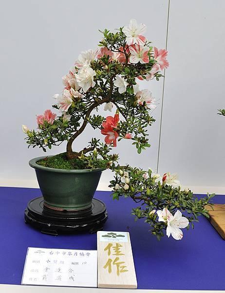 2019台中皋月杜鵑展_00121.jpg