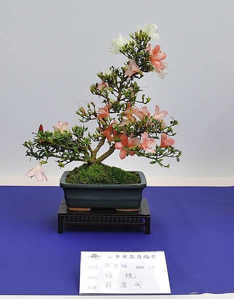 2019台中皋月杜鵑展_00122.jpg