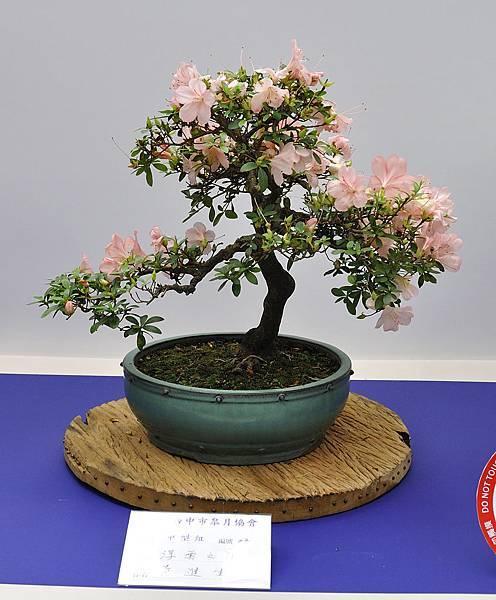 2019台中皋月杜鵑展_00130.jpg
