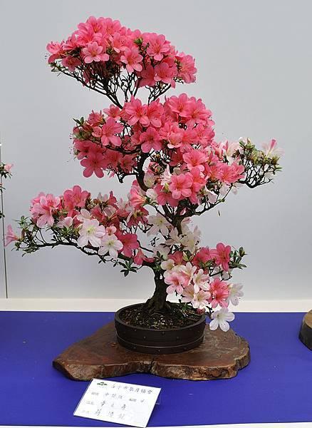 2019台中皋月杜鵑展_00137.jpg