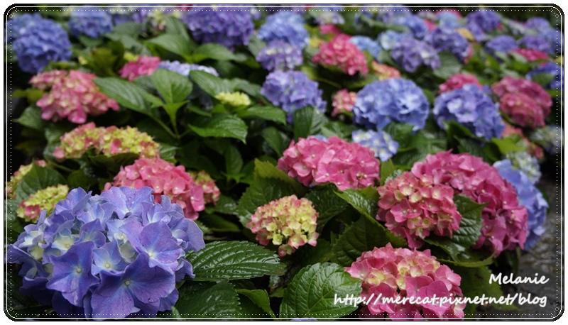舉目山莊繡球花2.JPG