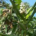 散步道上的野薑花