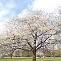 cherry tree?