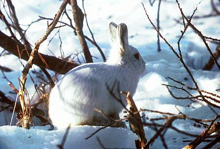 1280px-Arctic_Hare