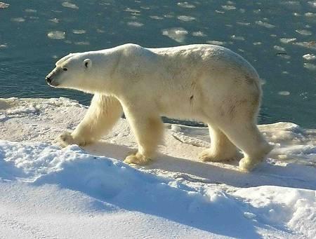 Polar_Bear_2004-11-15