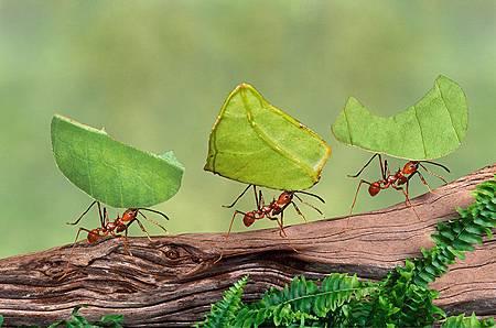 切葉蟻.jpg