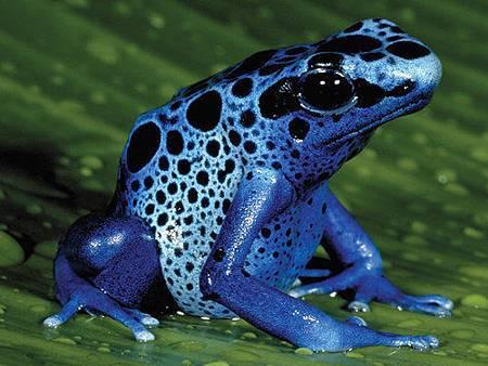 藍箭毒蛙.jpg