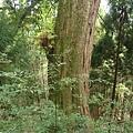 檜山1號巨木 (2).JPG