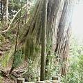 檜山3號巨木 (2).JPG