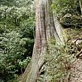 檜山4號巨木.JPG