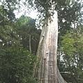 檜山5號巨木 (1).JPG