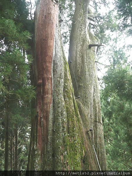 檜山巨木步道 (30).JPG