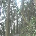 檜山巨木步道 (53).JPG