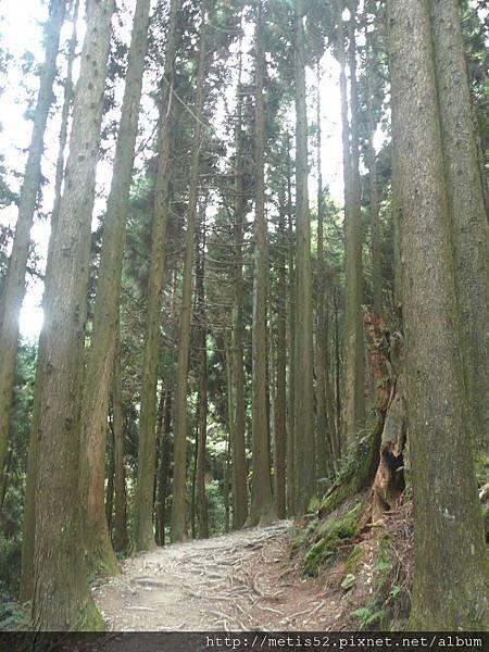 檜山巨木步道 (60).JPG