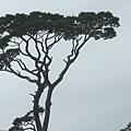 鐵杉.JPG