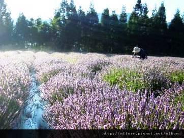 2011.07.22.晨的薰衣草園--梅峰421-1.jpg
