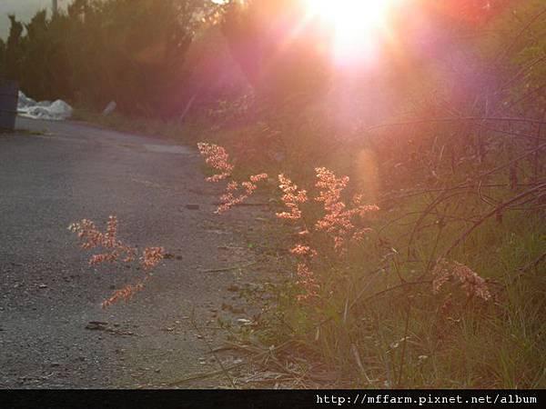 121109春陽分場解說員訓練 夕陽下的禾本科 (2)