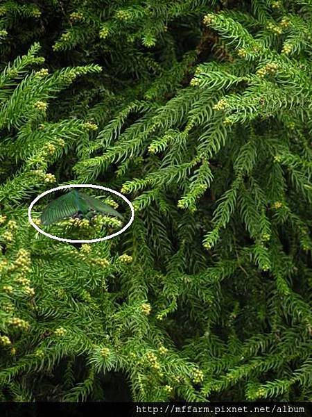 烏鴉鳳蝶  標示出位置