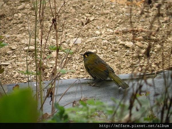 110730溫帶花卉區 蜀龍拍的藪鳥