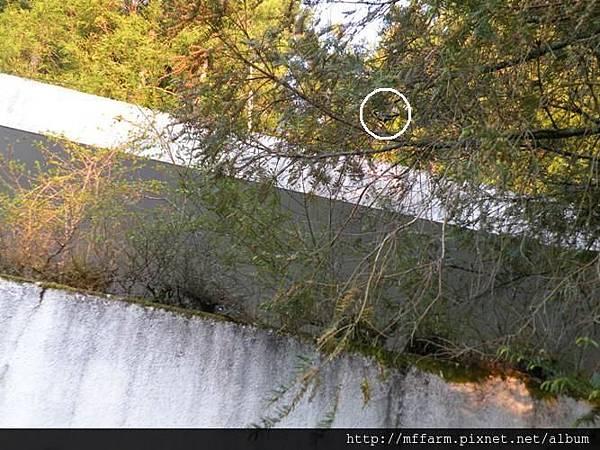 110410早安賞鳥粗榧上的青背山雀 標示位置