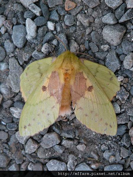 青枯葉蛾(綠黃色毛蟲)