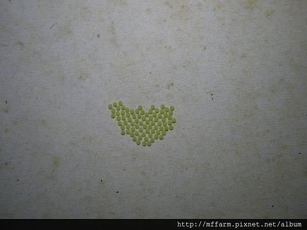 110403蟲幕上剛被產下的蛾卵
