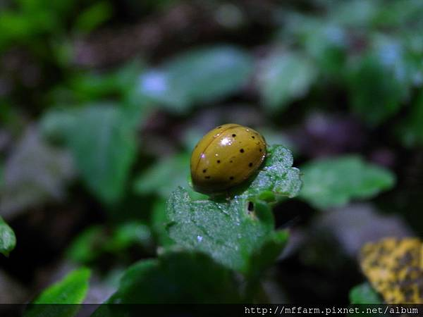 080821蜀龍拍的瓢蟲1